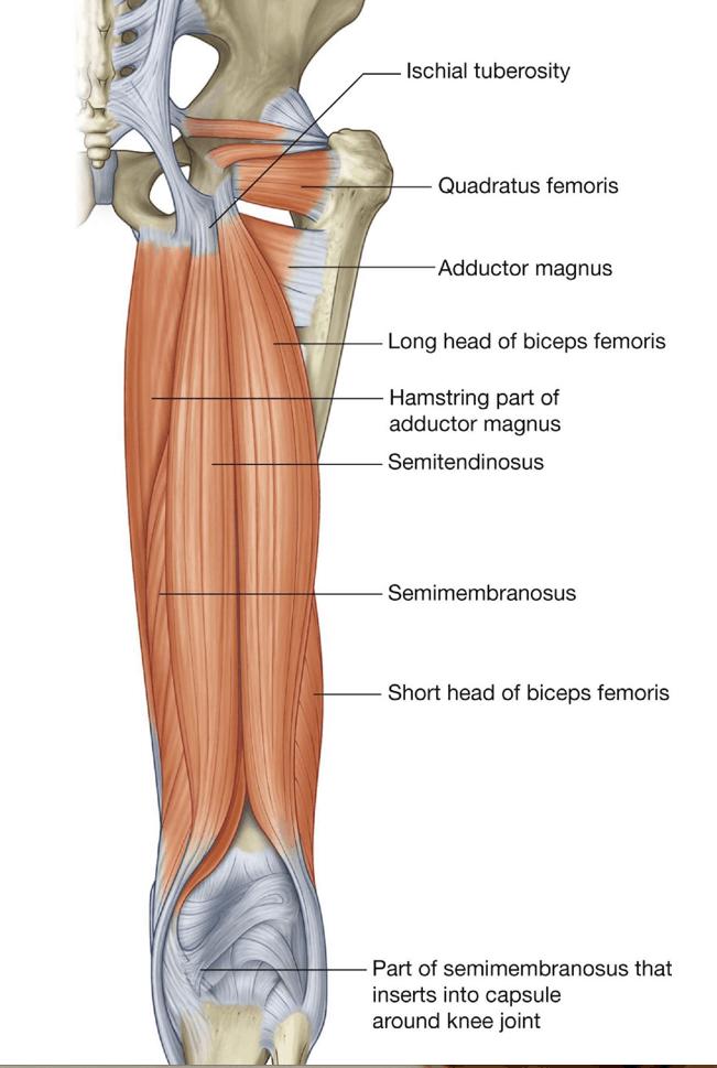 understanding the hamstrings